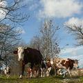 2008 11 08 Les vache sur le chemin pour partir manger