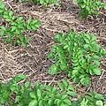 <b>Pomme</b> de <b>terre</b> : La conservation des sols.