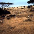 amboseli gazelle cc