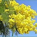 🌳 ARBRES PERSISTANT: Mimosa 4 saisons