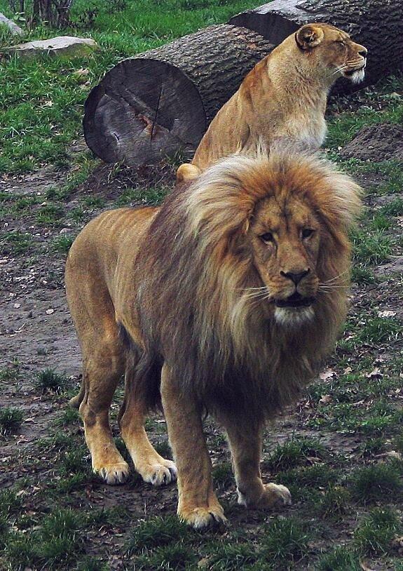 A quoi sert la crinière du lion?