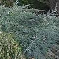 <b>JUNIPERUS</b> squamata 'Blue Carpet'