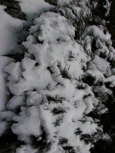2008 04 14 De la neige sur les genets