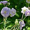 Des petites fleurs doubles ressemblant à des roses miniatures