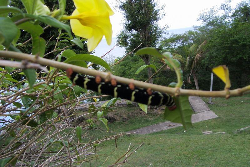 Une grosse chenille qui va donner un gros papillon
