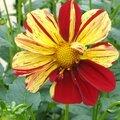 dalhia rouge et jaune