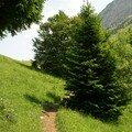 Petit chemin entre les sapins