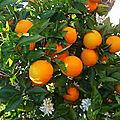 🍊 <b>AGRUME</b>: Oranger Navelina par Paysagiste Pays Basque et Paysagiste Landes