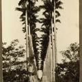 Palmiers du Jardin Botanique de Rio