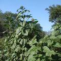2008 08 31 Mes plus grand tournesols sur le point de fleurir