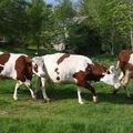 2009 05 19 Les vaches qui sortent dehors pour la première fois de cette année (2)