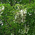 Acacia 070516