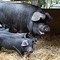 Le Porc noir de Bigorre, Roi de la fête