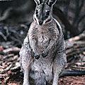 AUSTRALIE - Une population d'Onychogales bridés (Wallabies) sauvée de l'extinction
