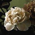 Une très jolie fleur : La pivoine