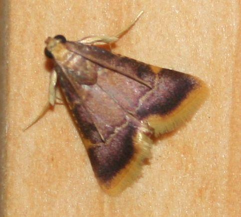 Hypsopygia mauritialis
