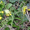 Coucous (Primula veris)
