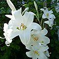 Les lys blancs : un parfum d'autrefois