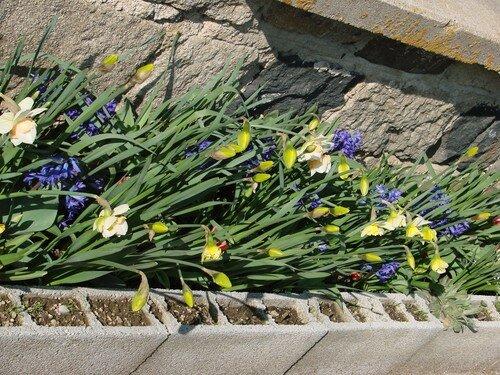 2008 04 04 Mes Tulipes, Narcisses et Jacinthes