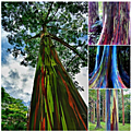 Les eucalyptus arc-en-ciel ...