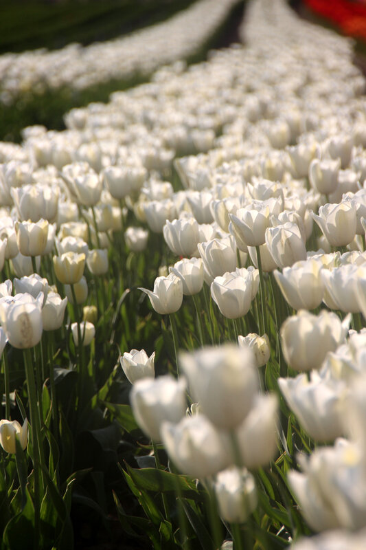 tulipes_blanches