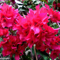 8745-Bougainvillea-sp