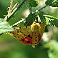 Rhyparia purpurata (Écaille pourprée, Écaille pourpre, Écaille mouchetée