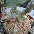 Euphorbia francoisii