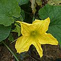 fleurs de potimarrons en octobre - www.passionpotager.canalblog.com