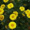 2008 10 02 Une variétée de chrisanthème