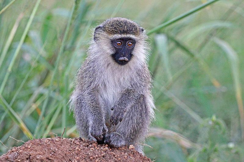 Vervet_monkey_(Chlorocebus_pygerythrus_rufoviridis)_juvenile