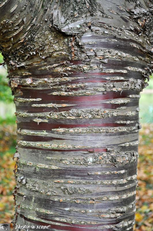 Prunus du Tibet • Prunus serrula var. tibetica • F. Rosaceae