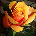 rosejaune4