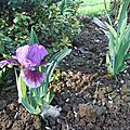 iris beauty mark (jardin)