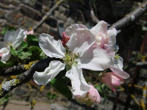 2008 05 07 Fleurs de pommier