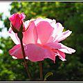 Rose rose et bouton 110515