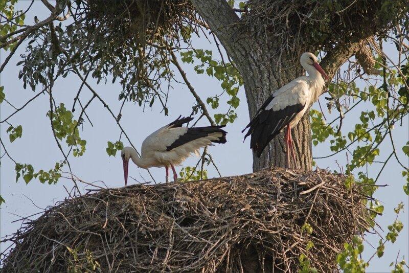 MS 050518 34 cigognes nid