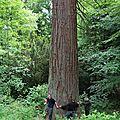 4U0A8327 Séquoia la Hutte