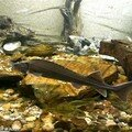 Les esturgeons, des poissons en voie de disparition…!