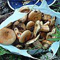 P1070699 Une belle cuillette de safranés