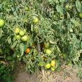 2008 08 26 Un plant de tomates big stricke hbride F1 qui commence a attraper le mildiou