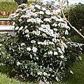 Le laurier-tin, arbuste persistant structure le jardin