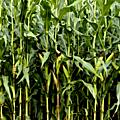 États-unis – des agrocarburants ogm dans l'alimentation humaine