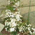 Le must - mon JASMIN ! Après une année sur un balcon, il explose au jardin. Et quel parfum ! avril 2007
