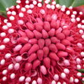 LA fleur des New South Wales, the famous Waratah