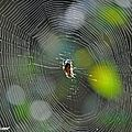 Epeire diadème • Araneus diadematus • Araneidae