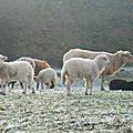 Hiver 2014-2015 - les agneaux
