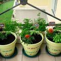 Pots de tomates