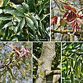 Frêne commun (Oléacées)