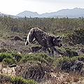 Mac, the Scottish Deerhound